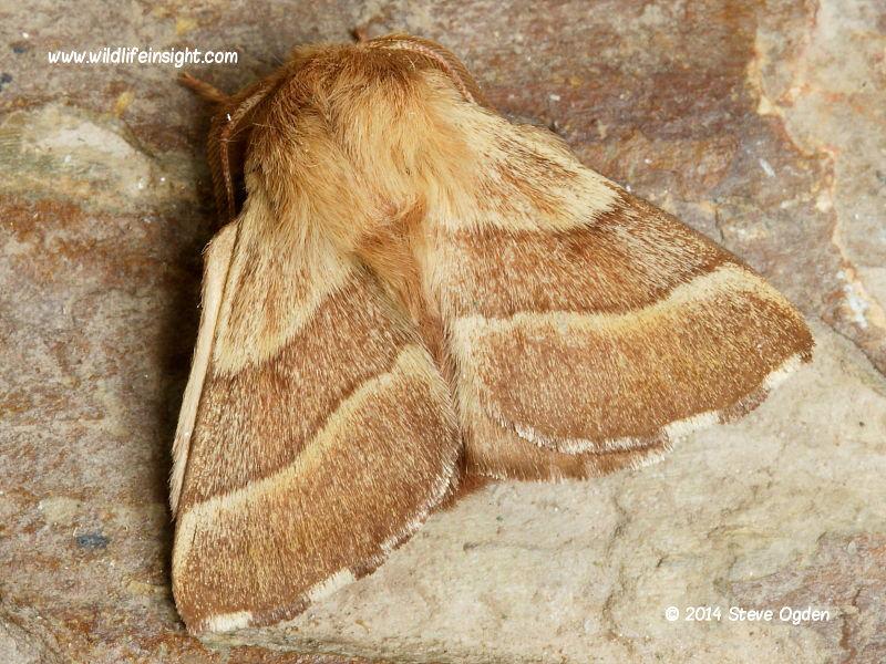 The Lackey moth  (Malacosoma neustria) © 2014 Steve Ogden