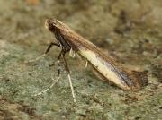 0285 Azalea Leaf Miner (Caloptilia azaleella)