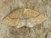 1678a Jersey Mocha (Cyclophora ruficiliaria)