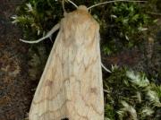 2195 The Delicate (Mythimna vitellina)