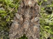 2248b Sombre Brocade (Dryobotodes tenebrosa)