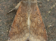2400 Scarce Bordered Straw (Helicoverpa armigera)
