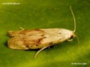 1428 Male Bee Moth (Aphomia sociella)