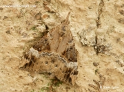 2478 Bloxworth Snout (Hypena obsitalis) over wintering adult moth