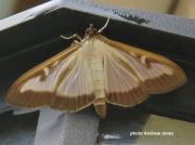 1409  Box Moth ( Cydalima perspectalis)  photo Andrew Jones