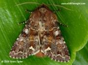 2163 Broom Moth (Melanchra pisi) © 2008 Steve Ogden