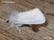 Brown-tail moth (Euproctis chrysorrhoea) showing tip of abdomen © steve ogden