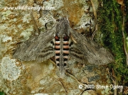 1972 Convolvulus Hawkmoth (Agrius convolvuli) © 2006 Steve Ogden