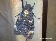 1973 Death's-head Hawkmoth (Acherontia atropos) Durban South Africa © 2014 Andre Isaacs