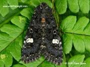 2155 Dot Moth Melanchra persicariae © 2008 Steve Ogden