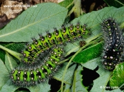 Different instar Emperor moth caterpillars Saturnia pavonia © 2014 Steve Ogden