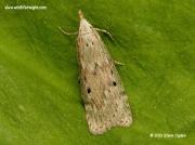 1428 Female Bee Moth (Aphomia sociella)