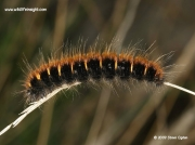 1638 Fox moth caterpillar (Macrothylacia rubi)  late summer instar