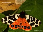 2057 Garden Tiger (Arctia caja) moth © 2009 Steve Ogden