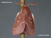 1636 Male Grass Eggar Moth (Lasiocampa trifolii)
