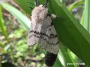 Gypsy Moth (Lymantria dispar) female recently emerged from pupa Surrey, UK- photo D,Harshika