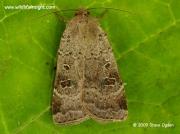 2111 Lesser Yellow Underwing (Noctua comes) © 2009 Steve Ogden
