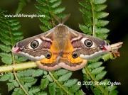 1643 Male Emperor moth © 2010 Steve Ogden
