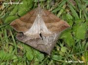 2477 The Snout (Hypena proboscidalis) male and female © 2009 Steve Ogden