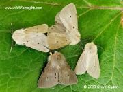 2063 Muslin Moths Diaphora mendica © 2010 Steve Ogden