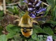 1982 Narrow-bordered Bee Hawkmoth Hemaris tityus © 2008 Steve Ogden