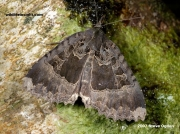 2300-The-Old-Lady-moth-Mormo-maura