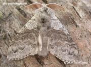 2028 Pale Tussock moth (Calliteara pudibunda) © 2005 Steve Ogden
