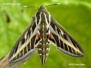 1909 Striped Hawkmoth (Hyles livornica) © 2015 Steve Ogden