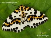 1884 The Magpie Moth  Abraxas grossulariata © 2014 Steve Ogden