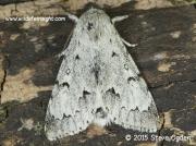 The Miller Moth (Acronicta leporina)  © 2015 Steve Ogden