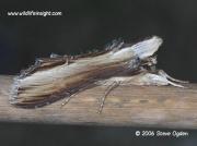 2221 The Mullein moth (Shargacucullia verbasci) © 2006 Steve Ogden
