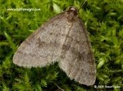 1799 Winter Moth Operophtera brumata