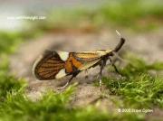 0652 Alabonia geoffrella © 2005 Steve Ogden