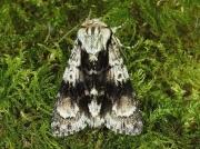 2281 Alder Moth (Acronicta alni)