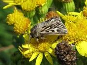 2176 Antler Moth (Cerapteryx graminis)