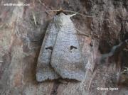 Blackneck-moth-(Lygephila pastinum)