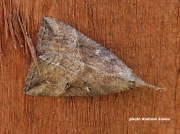 2480 Buttoned-Snout-Hypena-rostralis