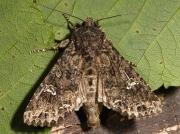 2154 Cabbage Moth (Mamestra brassicae) preparing for flight