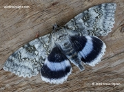 The Blue Underwing  Clifden Nonpareil (catocala fraxini)
