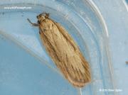 2244 Depressaria daucella moth