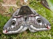 Female Emperor Moth (Saturnia pavonia) © 2007 Steve Ogden