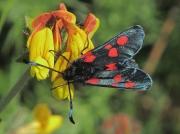 0170 Five-spot Burnet (Zygaena trifolii)