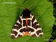 2057 Garden Tiger (Arctia caja) moth © Steve Ogden