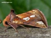2439 Gold Spot Moth (Plusia festucae)
