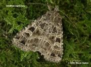 2136 The Gothic Moth (Naenia typica)-3436