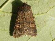2177 Hedge Rustic (Tholera cespitis)