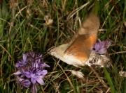 1984 Hummingbird Hawk-moth (Macroglossum stellatarum) nectaring at Autumn Squill
