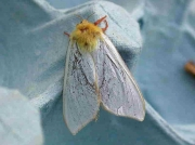 0014 Ghost Moth (Hepialus humuli) - male