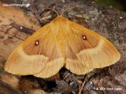 Female Oak Eggar (Lasiocampa quercus) © 2006 Steve Ogden