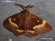 Male Oak Eggar (Lasiocampa quercus) © 2006 Steve Ogden